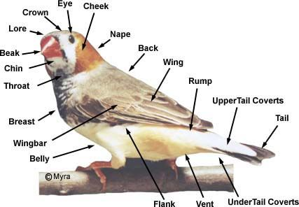 Parts of a Finch. Always good to know what the parts are called.