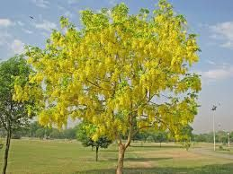 #Amaltas are the rich source of #flavonoids and #anthocyanidines which act on…