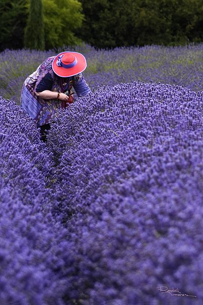 Red Hat Lady picking lavender at Purple Haze Lavender Farm, Sequim, Washington. Sequim is known as the Lavender Capitol of North America. It is because of sun, soil and lack of rain. The 3rd weekend in July is Lavender Weekend. You can find over 100 varie
