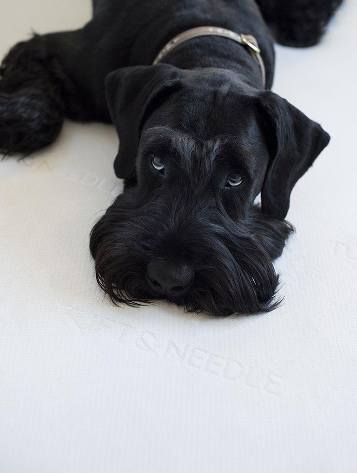 Giant Schnauzer Puppy Eyes