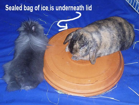"Terra Cotta Lid with Ice bag underneath: This great tip was sent in by Celine. Thanks Celine! ""Get lids big enough for bunnies to lay most of their body on. I lay a smaller flat dish on the ground and fill a bag with ice and put it in the dish and flip the plant lid over on top of it to make an ""ice bed"". #rabbits #summer"