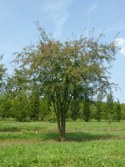 Malus toringoides 'Mandarin' #tree #multitrunk #multistem www.vdberk.co.uk