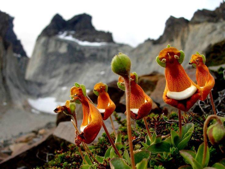"""El """"Zapatito de la Virgen"""" (Calceolaria biflora) es una hermosa y diminuta flor no muy fácil de encontrar en Tierra del Fuego, pero que sí se puede admirar en el Parque Nacional Torres del Paine .. que bellas verdad. — in Chile."""