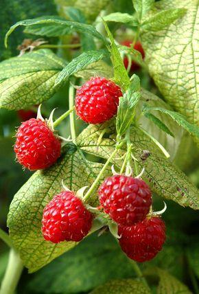 bon site pour les infos de jardinage et pour choisir de plantes selon l'environnement, etc. Iici -  Framboisier : planter et cultiver des framboisiers