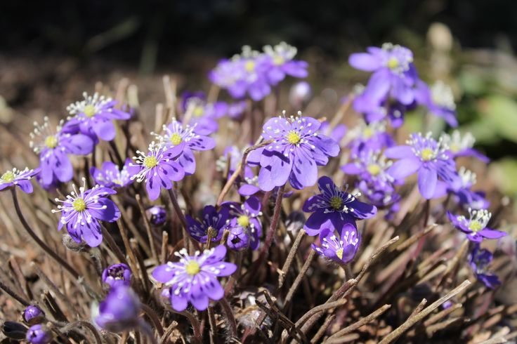 Spring flowers in Finland
