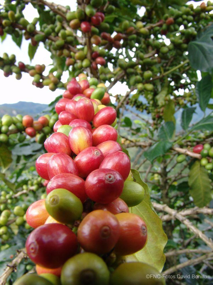 Árbol de Café / Coffe Tree