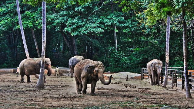 Photo of the Day: At the Zoo in India |  A group of elephants walk around at the zoo in Mysore, India on December 21, 2015. (Yair Aronshtam/Flickr)