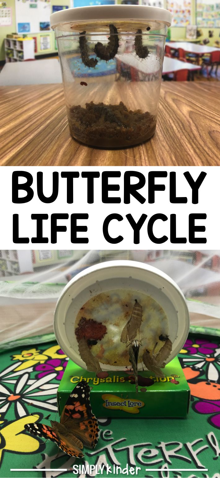 The butterfly life cycle.  Ever wanted to see the life cycle of butterflies with your students?  We give you a glimpse in the process.  A great activity for kindergarten, preschool, and first grade students from Simply Kinder.