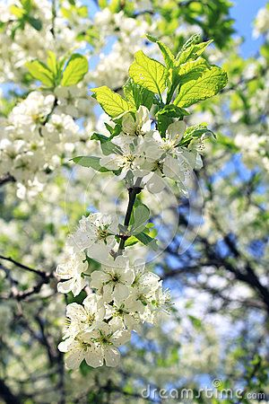 Branch of Apple blossoms in the spring