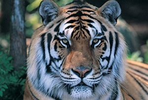 Illegal poaching has made this tiger on the path to extinction. So sad.