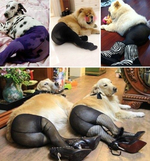 Dogs Wearing Pantyhose  Favorite