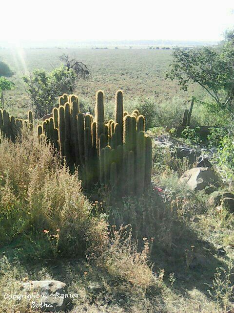 Beautiful wild cactus. .....captured by Renier Botha..... on farm outside Koppies