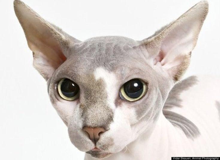 Best Cat Breeds 2012: The Top 10 American Feline Pedigrees