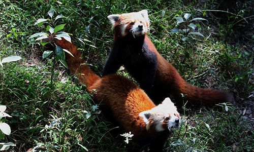 Red pandas wait to be fed at the Central Zoo in Lalitpur, Nepal, Nov. 8, 2016. (Xinhua/Sunil Sharma)