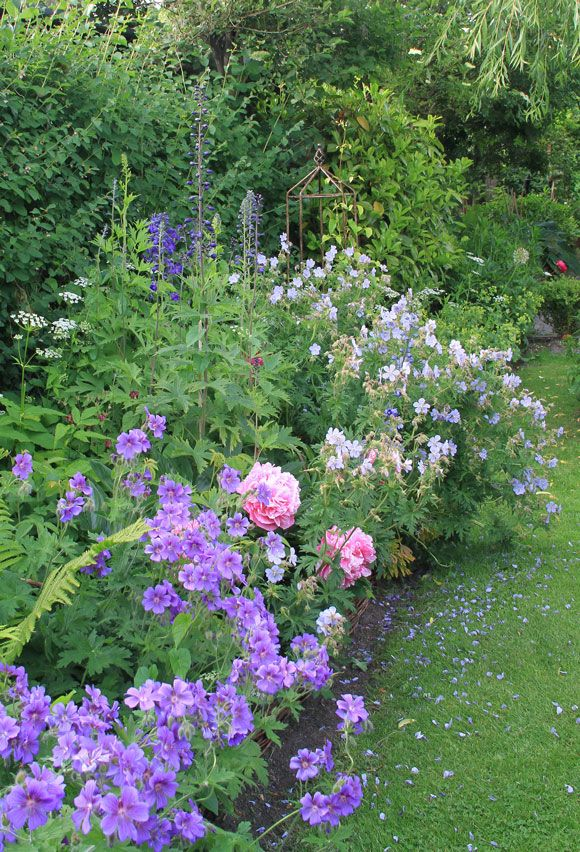 Geraniums, Roses, Alchaemila Mollis, Alliums and Delphiniums in a mixed border
