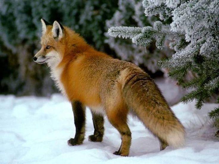 лиса в снегу - Поиск в Google