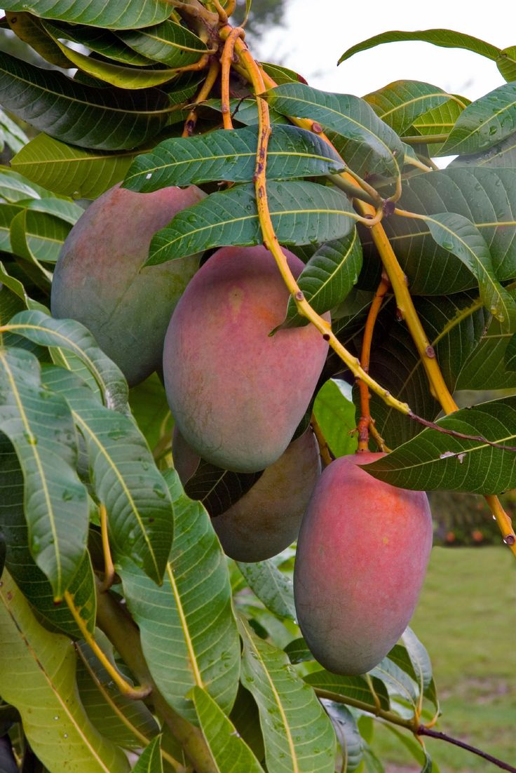 One of the most popular fruits in the world, mango trees have been grown for more than 4,000 years. Mango tree problems, like no mango fruit on trees, have been duly noted with solutions found in this article.
