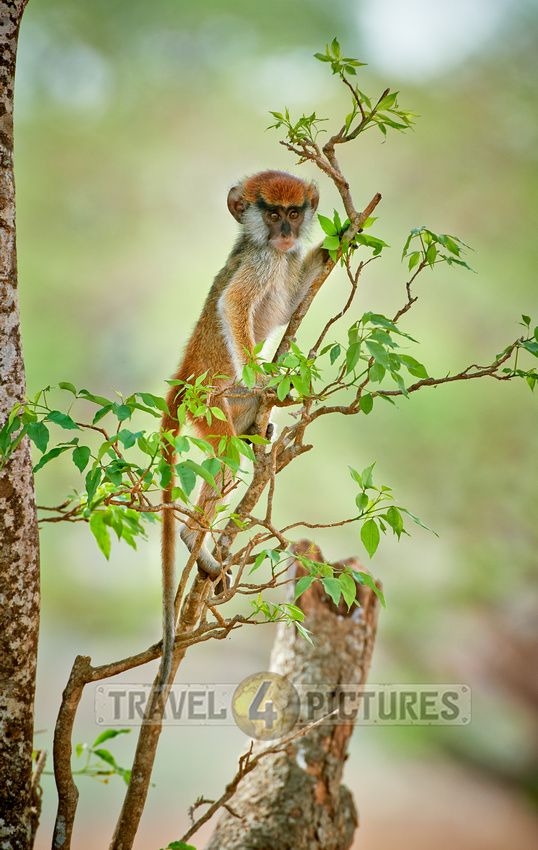 Baby patas monkey or Hussar monkey, Erythrocebus pata, Murchison Falls National Park, Uganda, Africa