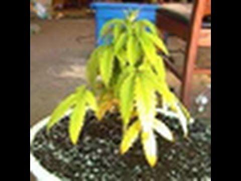 Learn To Spot Nitrogen Deficiency in Cannabis