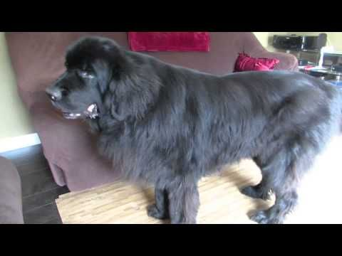 Giant Newfoundland dog demands to see Peter Pan