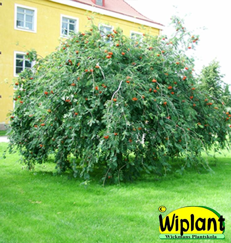 Sorbus aucuparia 'Pendula', Hängrönn. Kraftigt hängande grenar. Höjd: 2-4 m. Bredd: 4-5 m.