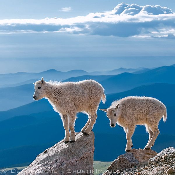 Baby Mountain Goats  Mickey Anderson - beautiful photo...