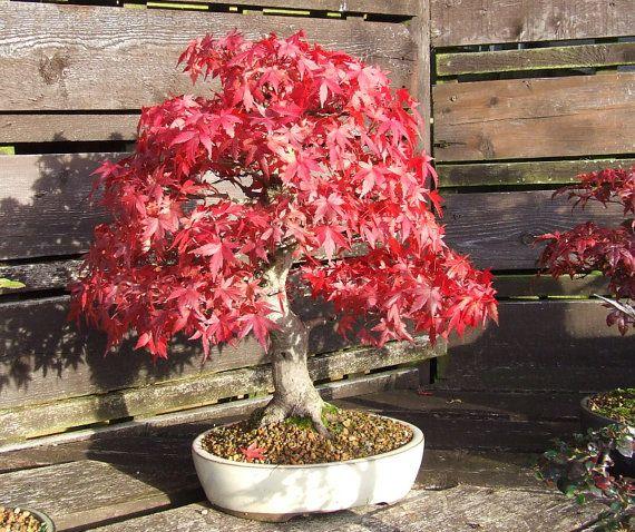 Heirloom 10 Seeds Red maple Scarlet maple Acer rubrum Bonsai Tree Shrub Seeds T039, $1.79