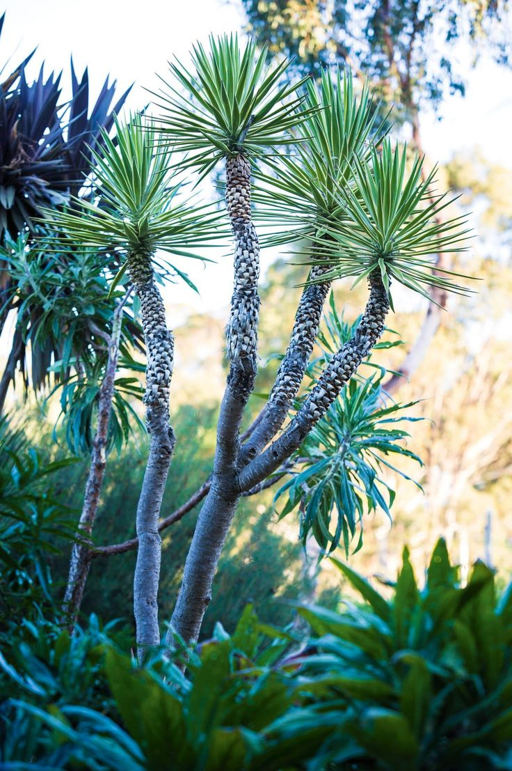 yuccas-plants-trees