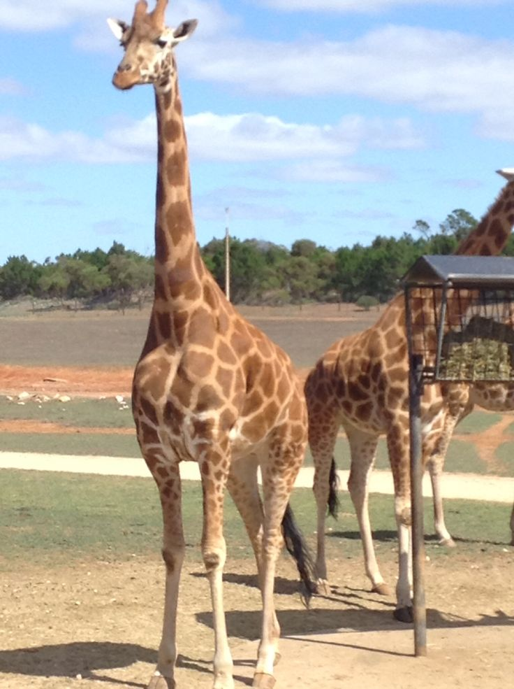 Giraffe's at Monarto Zoo