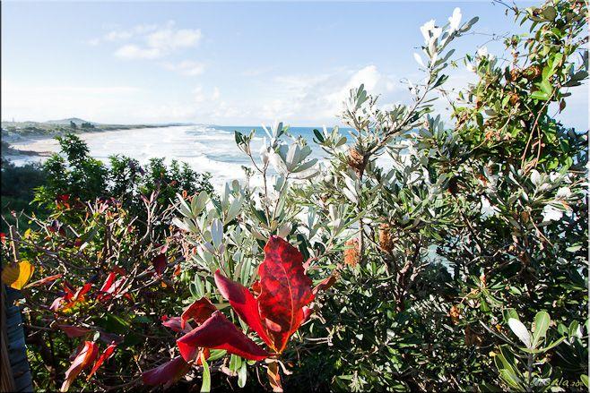Banksia (Proteaceae) & Coolum Beach, Qld