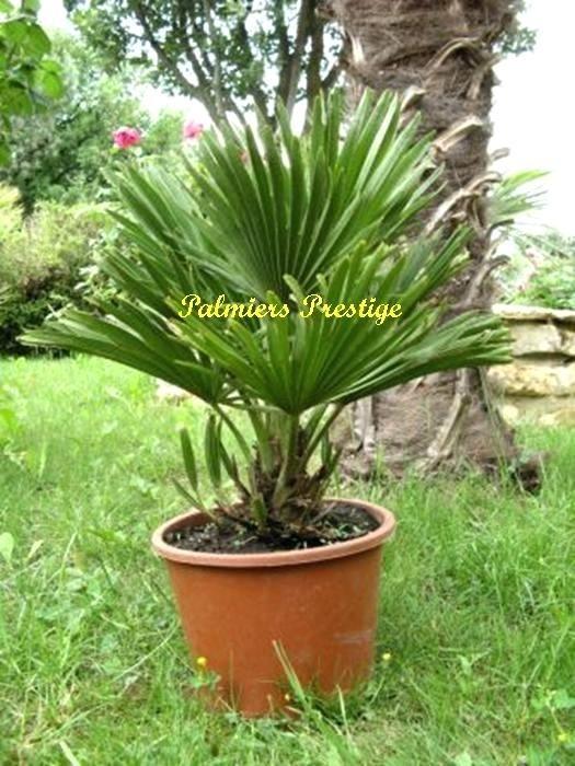palmier exterieur en pot sujet de 30 cm racf arrosage. Black Bedroom Furniture Sets. Home Design Ideas