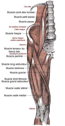 Le quadriceps en détail - Wikipédia Syndrôme rotulien : Muscler les quadriceps, et particulièrement le vaste medial (ou vaste interne)