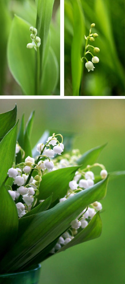 The lily of the valley represents sweetness and the return of happiness.
