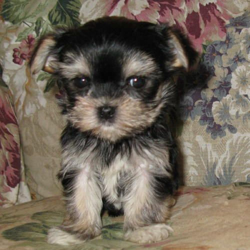 yorkie maltese puppy for sale 30 best images about maltese yorkie puppies on pinterest 7545
