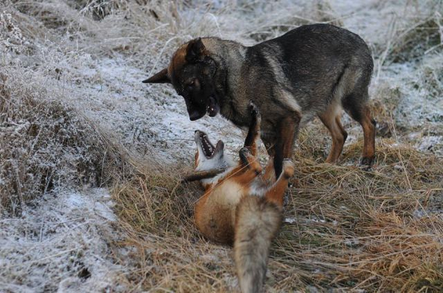 The Unlikely Friendship between the Fox and the Hound.