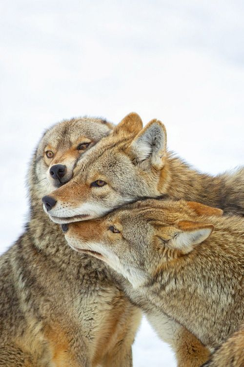 Coyotes photographed by Perry McKenna in Montebello, Quebec
