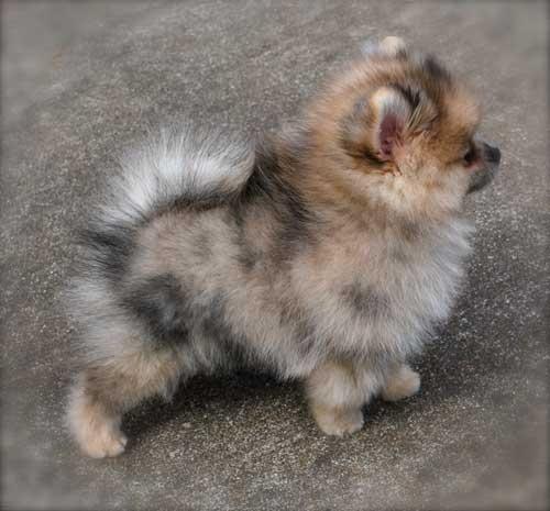 Merle Pomeranian puppy                                                                                                                                                     More