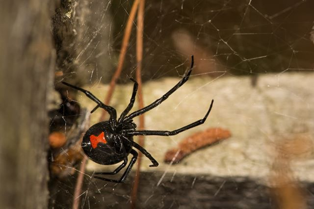 The Black Widow Spider Scientific Name Latrodectus Mactans Identification The Female Has A Shiny Black Abdomen Black Widow Spider Widow Spider Deadly Animals