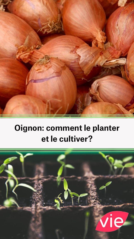 Comment Cultiver Les Oignons oignon: comment le planter et le cultiver? | cultiver