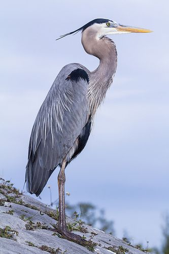 Heron Bird Coloring Pages 116 best images about Herons paintings photos drawings