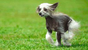 Perro Crestado Chino - Todo lo que hay que saber del perro crestado Chino  #dogs #dogbreeds #razasdeperros #perrospequeños #perros