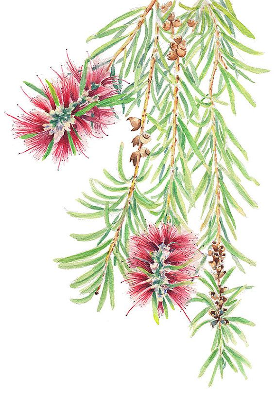 Bottlebrush or Callistemon - A4 print from watercolour painting by ZoyaMakarova