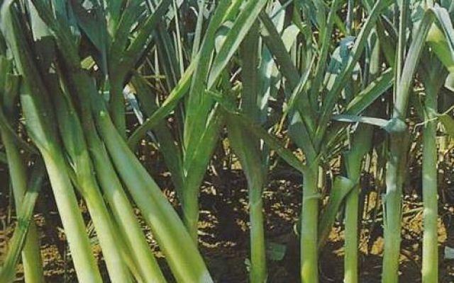 Coltivare il porro nell'orto, ecco come si fa Il porro è una pianta biennale, sempre più usato in cucina quale sostitutivo della cipolla, per il suo sapore più delicato e decisamente meno acre: questo, peraltro, scompare del tutto in caso di cot #coltivareporro #coltivareorto