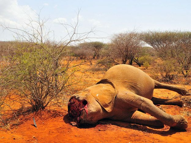 Elephant poaching in Kenya - on the rise due to China's increasing demand - #endwildlifecrime