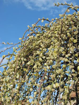 Korkenzieherweide, Salix matsudana - Pflege und Schneiden, Erziehung zum Baum (Kopfweide)