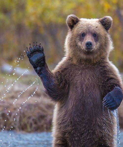 Bear Waving Hand