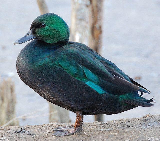Green duck by roseyhadlow, via Flickr