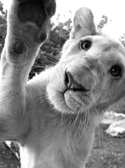 Hey girl hey!: Hello, High Five, Big Cats, Animal Kingdom, Adorable, Wild Cats, Amazing Animal, Lion Cubs, Hidden Camera