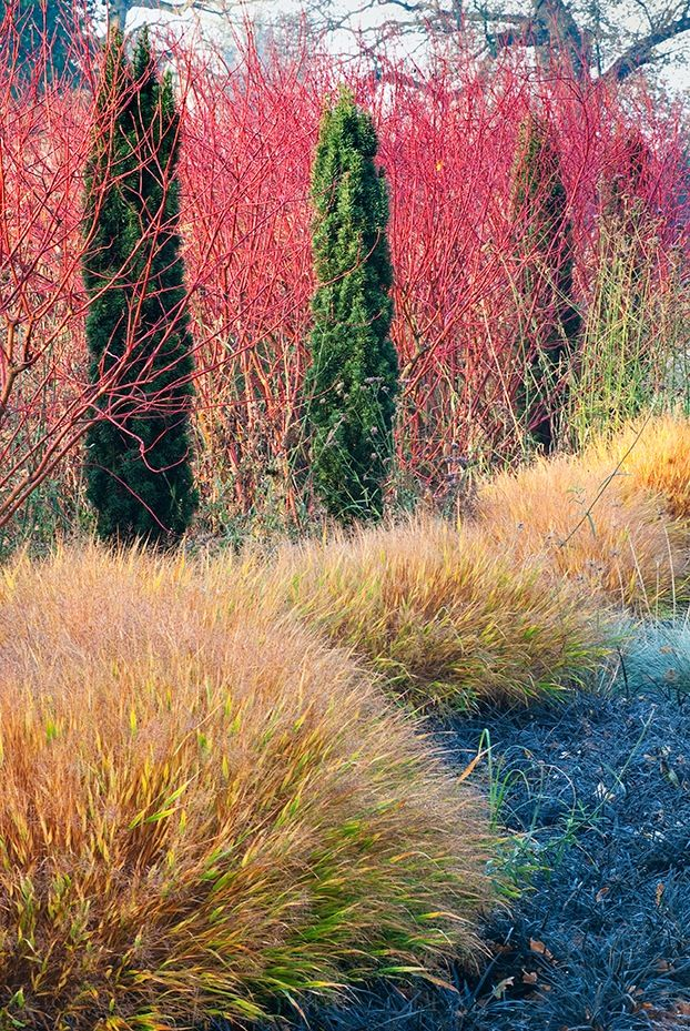 Minimalist design by Adrian Bloom uses one shrub, Cornus alba Aurea, one conifer, Taxus baccata Robusta, one grass, Hakonechloa macra and one perennial, the everblack Ophiopogon planiscapus Nigrescens to create a scene of year round interest - Bressingham Gardens photos by Richard and Adrian Bloom -