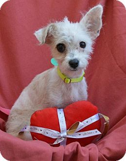 Marina Del Ray, CA - Poodle (Miniature)/Chihuahua Mix. Meet SPARKLE, a puppy for adoption. http://www.adoptapet.com/pet/17615316-marina-del-ray-california-poodle-miniature-mix
